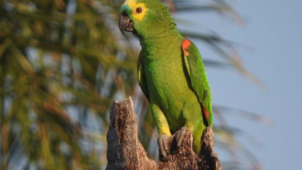 Como a genética explica a inteligência dos papagaios, os 'seres humanos' do mundo dos pássaros