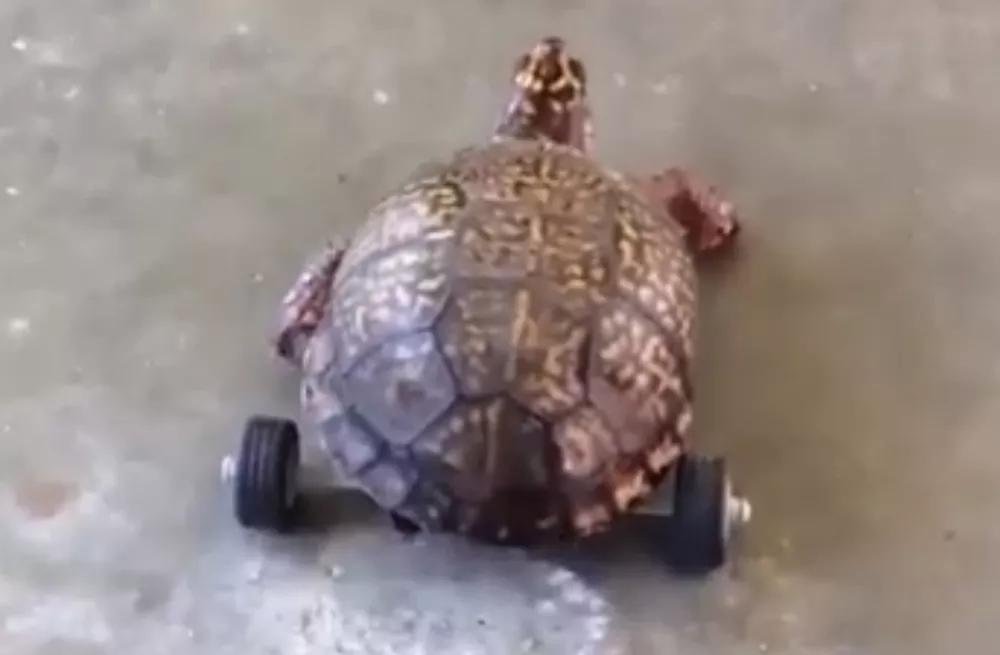 Tartaruga ganha prótese feita de Lego após perder patas traseiras; veja vídeo